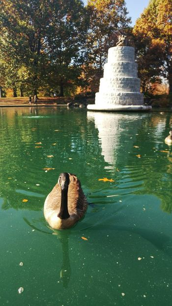 No People Water Swimming Outdoors Tree Nature Beauty In Nature Day Animal Themes Sky Autumn Colors Autumn Ohio Leaves Goodale Park Short North Columbus, Ohio Beauty In Nature Goose Bird