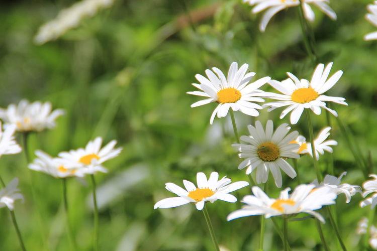 Daisy flowers on field
