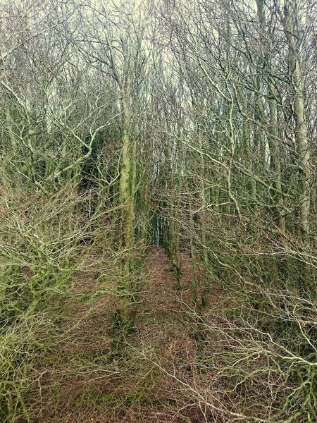Can't see the wood for the trees Tree Coppice Trees Thick Growth WoodLand Small Trees Spinney Cops Wood Wood Treescollection Masses Dense Dence Forest Backgrounds Full Frame Pattern Abstract Close-up Woods Plant Bark Countryside Branch Treelined
