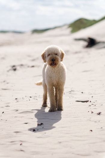 Animal Themes Beach Day Dog Dog Friendly Dog Friendly Beach Domestic Animals Dunes Focus On Foreground Front View Holiday Labradoodle One Animal Pets Sand Sandy Sea Shore Tranquility