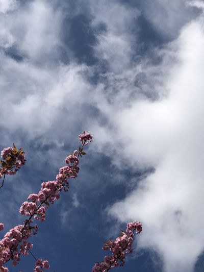 Low angle view of pink flowering plant against cloudy sky