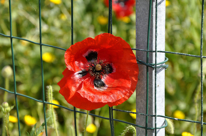 Close-up of red poppy growing on plant