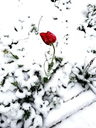 Heart Shape Snow Red Winter Cold Temperature Nature No People Outdoors Leaf Plant Freshness Spring Time April 2017 Huawei P9 Photos EyeEmNewHere Snow❄⛄ Fragility Seasons Contrast Beauty In Nature Mobilephotography Tulips🌷 Snow In Spring Frozen Flower