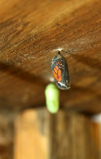 Close-up of butterfly cocoon on wood