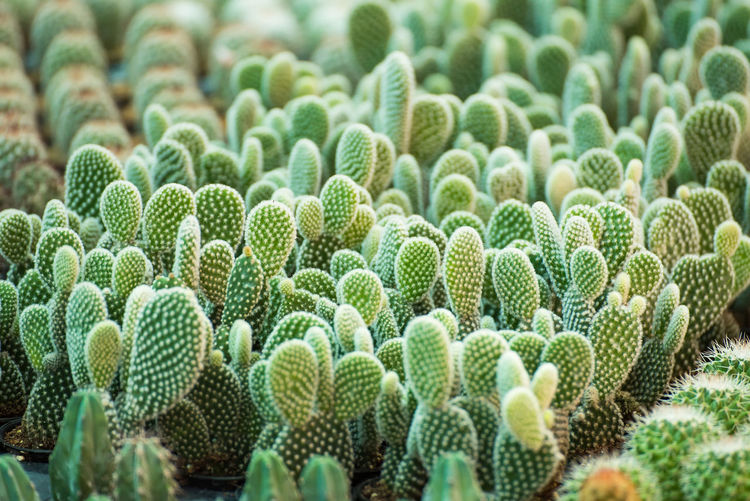 Group of small cactus plant in the pot at cactus garden.Thailand Abundance Barrel Cactus Beauty In Nature Cactus Close-up Day Field Focus On Foreground Green Color Growth Land Natural Pattern Nature No People Outdoors Plant Sharp Spiked Succulent Plant Thorn