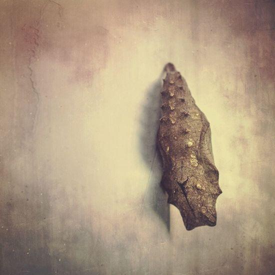 Chrysalis Mextures Macro Photography Butterflys