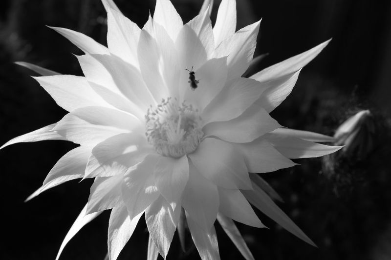 Pedals and Bees Black And White Friday Blooming Buble Bee Close-up Flower Freshness Petal Pollen