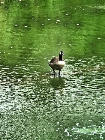Swan Goose Walking On Water Animal Themes Waterfowl No People Nature Outdoors Ripples In Time