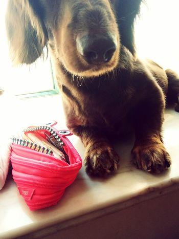 Let me take a selfie🐶 Sausagedog Dog Love Lovelovelove Doglover Doggie Dachshund I Love My Dog Cute Pets Pet Dog❤ Dog Lover Dog Dachshundlove My Puppy Dogs Of EyeEm