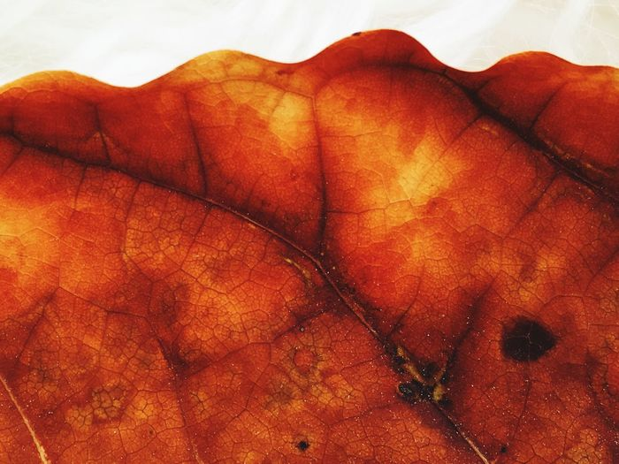Avocado leaf Leaf Vein Leaf Avocado Leaf EyeEm Selects Indoors  Red Close-up Pattern Textured  Textile No People Orange Color Backgrounds Wall - Building Feature Leather Brown Full Frame Day