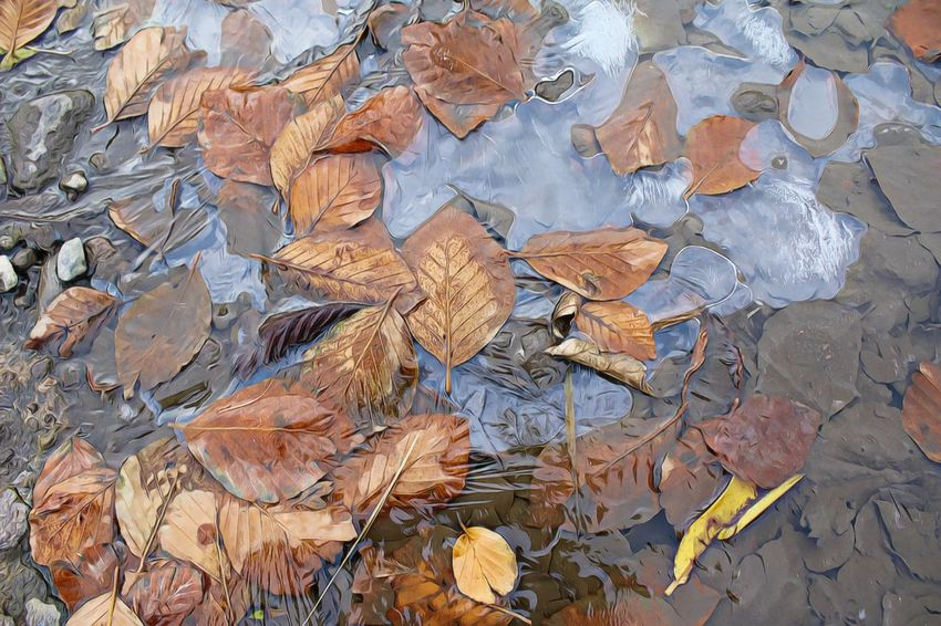 frozen puddle and leaves Frozen Abundance Autumn Beauty In Nature Change Dry Fragility Leaf Leaves Nature Puddle