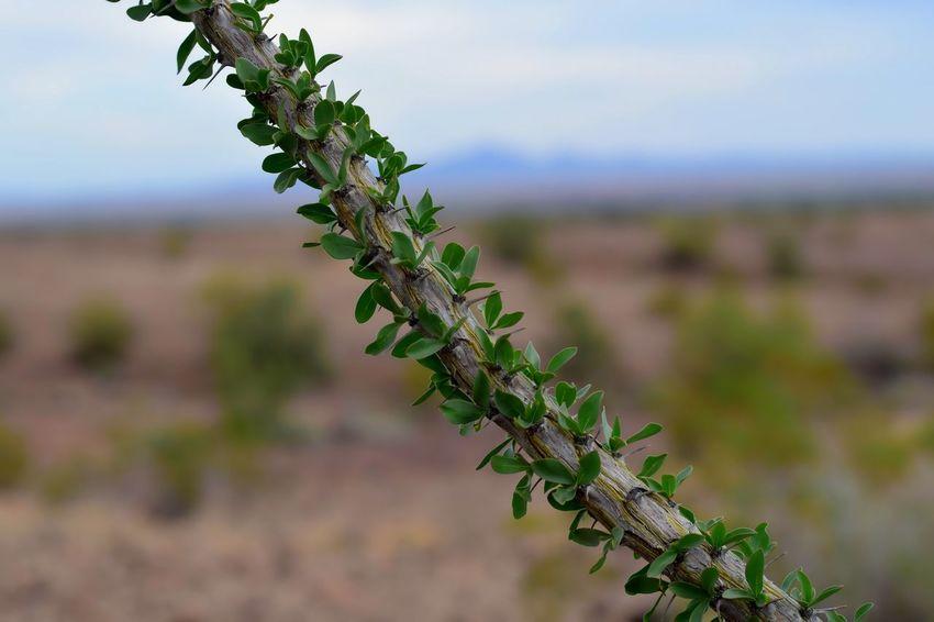 Cactus Ocotillo Cactus Arizona Plant Life Desert Bokeh Nature Macro Desert Plants Green
