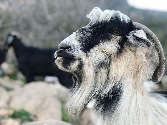 Goat portrait EyeEm Selects Animal Themes Animal One Animal Mammal Animal Wildlife Animals In The Wild Close-up Vertebrate No People Focus On Foreground Day Animal Body Part Nature Sunlight Animal Head  Outdoors Sculpture Representation Side View Looking