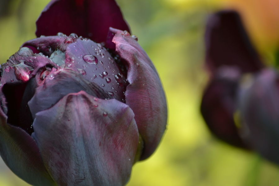 Beauty In Nature Bloom Blooming Close-up Day Drop Flower Flower Head Focus On Foreground Fragility Freshness Growth Nature No People Outdoors Petal Plant Raindrops On Flower Raindrops On Flowers Tulips Water Water On Flower Wet