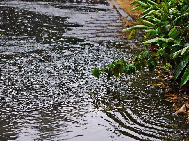 Animal Themes Close-up Day Hard Rain Nature No People Outdoors Plants Puddle Raindrops Rainy Day Water
