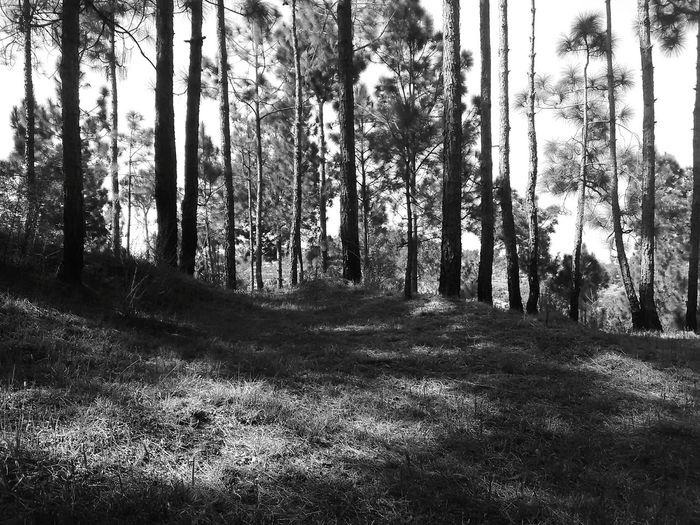 Pine Woodland Environmental Conservation Grey Black And White Solitude And Silence