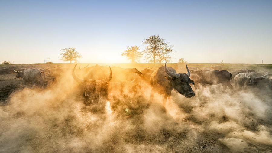 Buffalos on field against clear sky