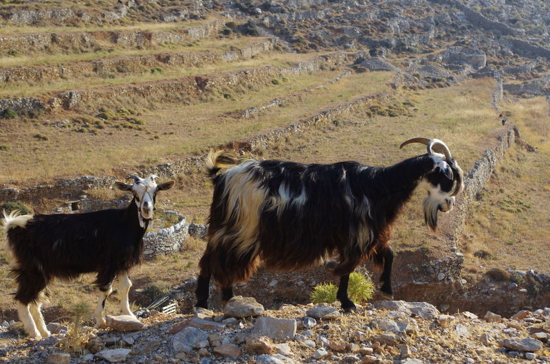 GREECE ♥♥ Goats Griechenland Griechische Inseln Amorgos Amorgosisland Animal Themes Cattle Cow Day Domestic Animals Domestic Cattle Domesticated Animal Tag Field Grass Greece Highland Cattle Landscape Livestock Mammal Nature No People Outdoors