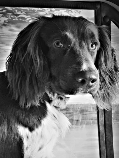 Pet Portraits Dog Pets Domestic Animals Water One Animal Border Collie Animal Themes No People Outdoors Mammal Day Close-up Nature Spaniel Black & White Samsungphotography Blackandwhite Photography The Week On EyeEm Taking Photos Animal Wildlife Samsung S8 Paws For Thought