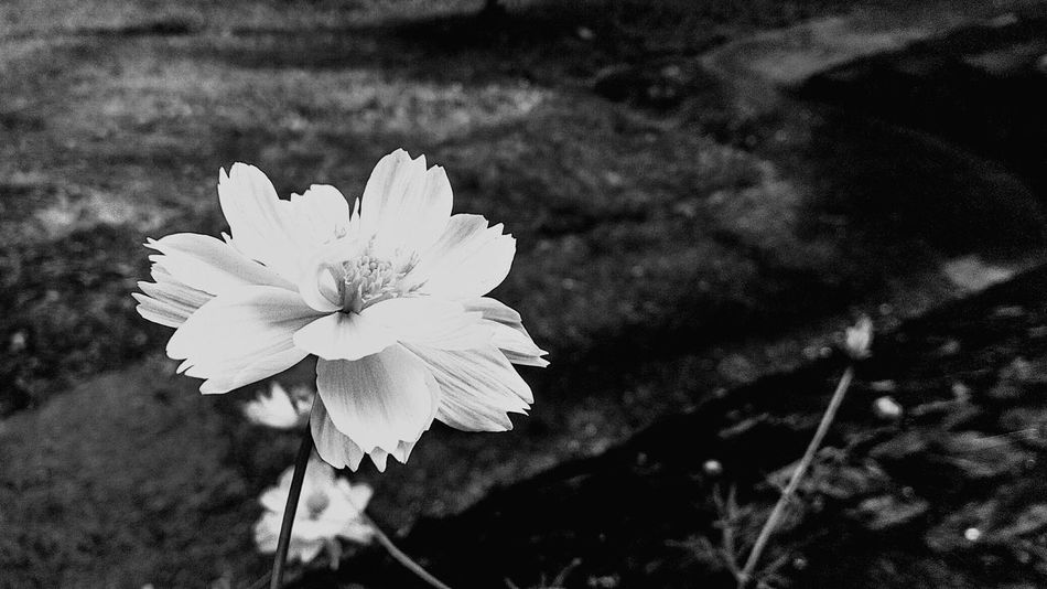 Flower Petal Fragility Outdoors Growth Beauty In Nature Black And White Friday