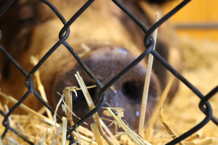 Farming Farm Animal Pig Snout EyeEm Selects Protection Safety Backgrounds Metal Full Frame Chainlink Fence Security Barbed Wire Close-up Fence Cage Animals In Captivity Captive Animals Captivity Paddock