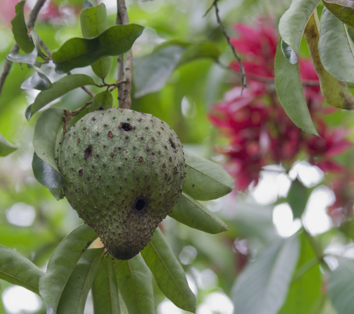 Soursop Fruit on Tree - Alajuela province, Costa Rica Agriculture Costa Rica Raw Annona Beauty In Nature Close-up Food Freshness Fruit Graviola Growth Guanabana Healthy Eating Nature No People Plant Prickly Ripe Single Object Sour Soursop Soursop Fruit Tree Tropical Unripe