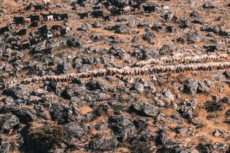High angle view of goats on rocky landscape