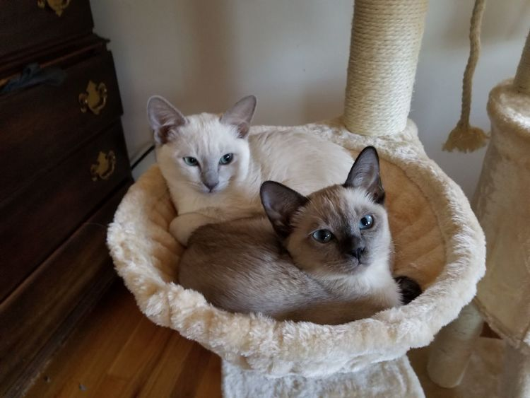 EyeEm Selects Pets Portrait Siamese Cat Looking At Camera Domestic Cat Kitten Cute Young Animal Home Interior Feline