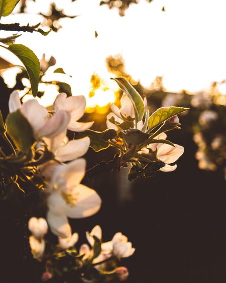 Flower Growth Blossom Fragility Nature Beauty In Nature Springtime Petal Freshness Branch Tree Flower Head Botany Close-up Apple Blossom No People Selective Focus Outdoors Plant Day