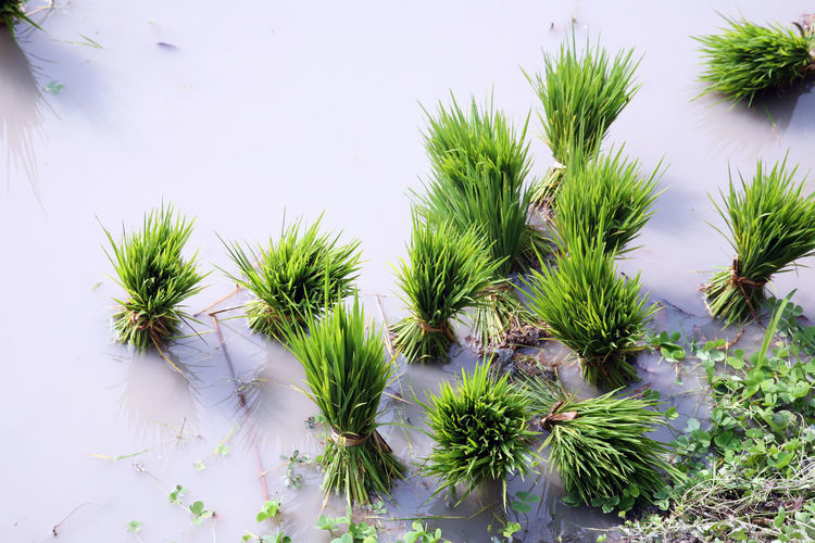 High Angle View Of Plants Growing On Wet Agricultural Field