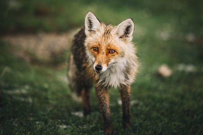 Portrait of fox standing on grassy field