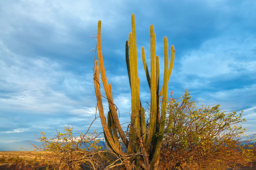 A large cactus bathed in the light of the early morning Alone Arid Blue Cactus Clouds Colombia Desert Desolate Drought Dry Heat Hot Huila  Lone Nature Neiva Outdoors Sand Scenery Sky Tatacoa Tourism Travel View Wilderness