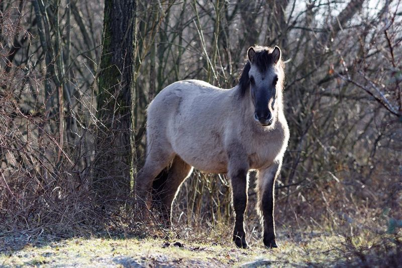 Proud Merry Proud Merrie Konik Horse Animal Themes One Animal Mammal Domestic Animals Field Nature No People Tree Livestock Grass Day Outdoors Beauty In Nature