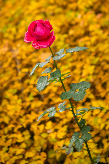 Autumn Autumn colors Fall Colors Pink Rose Rain Rainy Autumn Day Autumn🍁🍁🍁 Beauty In Nature Fall Flower Flower Head Flower In The Garden Flower In The Rain Flowering Plant Garden Nature No People Outdoors Pink Color Plant Rainy Autumn Rosé Rose - Flower Rose🌹 Yellow
