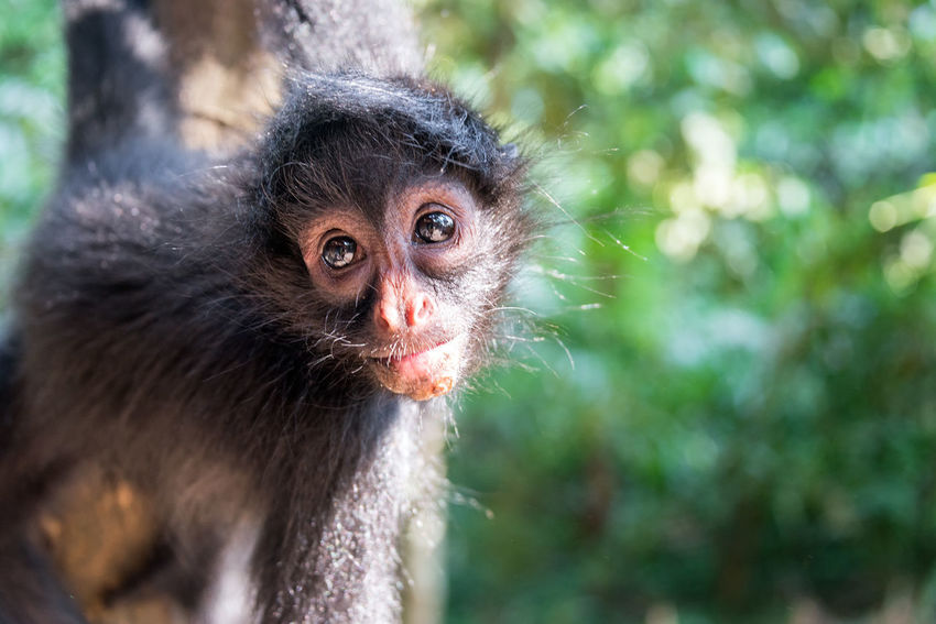 Closeup view of a spider monkey hanging in a tree in Madidi National Park in Bolivia Amazon Animal Animal Themes Ateles Black Bolivia Face Forest HEAD Looking Madidi National Park Mammal Monkey Monkeys Nature Outdoors Primate Rainforest Rurrenabaque South America Spider Tree Wild Wilderness Wildlife