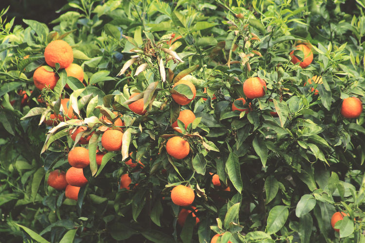 Beautiful Freshness Green Growing Growth Mallorca Nature Orange Plant Plants SPAIN Spain🇪🇸 Beauty In Nature Beauty In Nature Close Up Day Details España Flower Flowers Food Food And Drink Fresh Freshness Fruit Fruit Tree Green Color Growth Healthy Eating Leaf Nature Nature_collection Nature_perfection No People Orange Orange Color Orange Fruit Orange Tree Outdoors Plant Plant Part Ripe Tree Wellbeing