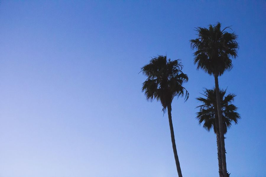 Palm Tree Low Angle View Clear Sky Silhouette Nature Tranquility Outline Tree California CA Bay Area