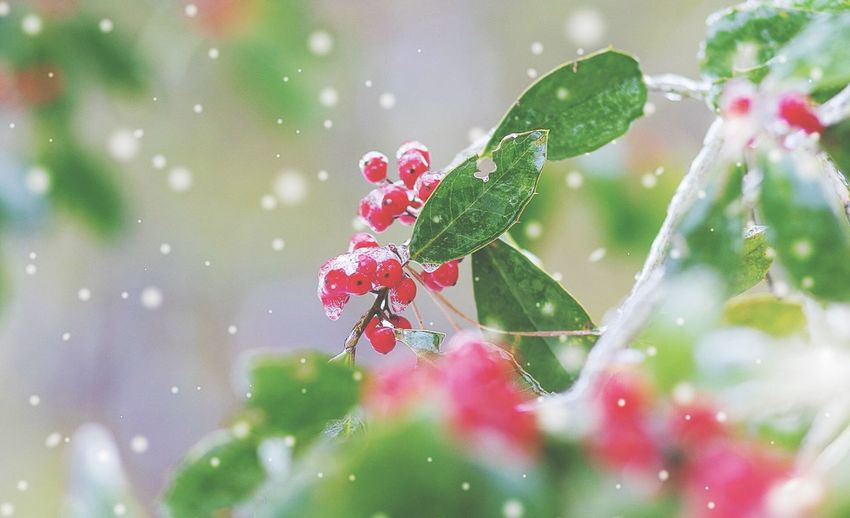 Holly Berries in the snow and ice North Carolina Winter2015 Holly Berries Winter Wonderland Redandgreen Winterstormjonas Winter Canon7dMK2 Canonusa Nature Mothernature Fine Art Photography Wintertime Winterscapes