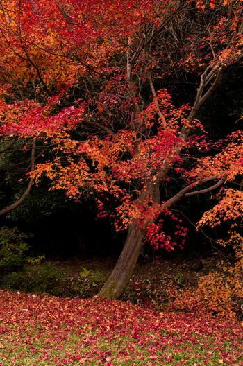 Red maple tree during autumn