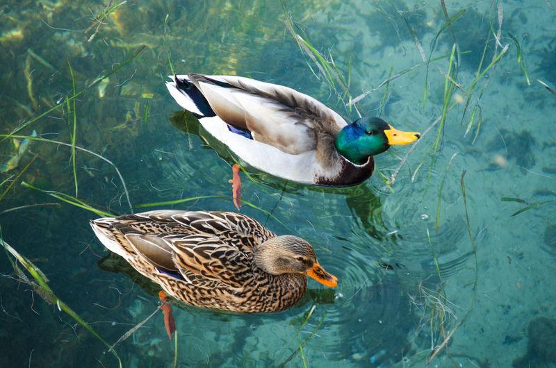 High angle view of mallard duck swimming on lake
