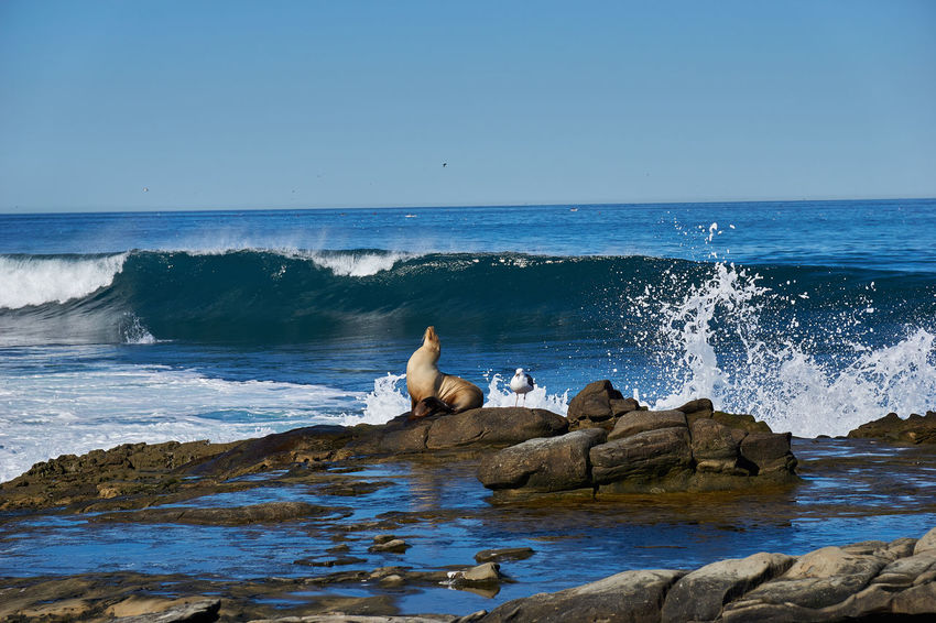 Sea Lion Animal Themes Animal Wildlife Animals In The Wild Beach Beauty In Nature Bird Clear Sky Day Dramatic Horizon Over Water La Jolla Cove Mammal Nature No People One Animal Outdoors Rock - Object Rock Formation Scenics Sea Sky Swan Water Wave