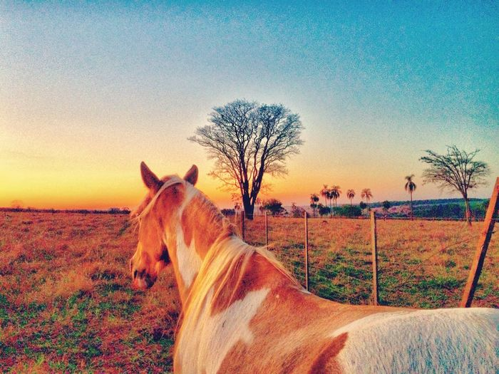 Horse on field against clear sky during sunset