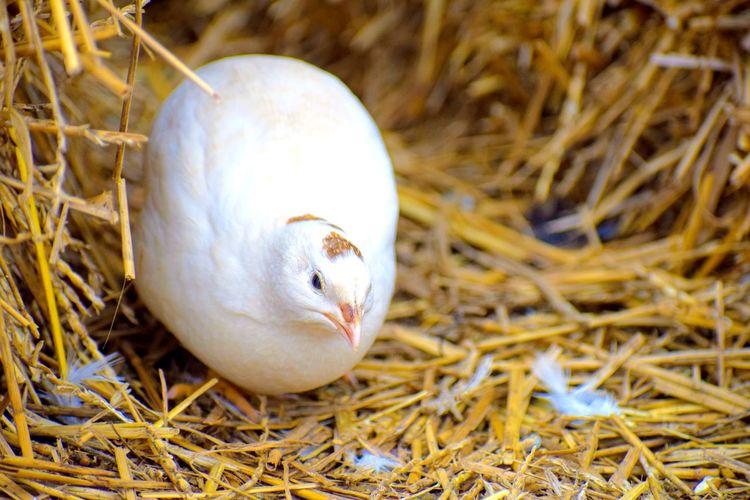 Quail Bird Beak