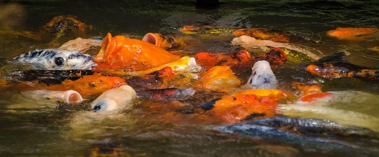 Close-up of koi carps swimming in lake