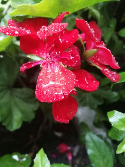 Flower Head Flower Water Poppy Red Drop Wet Pink Color Petal Close-up