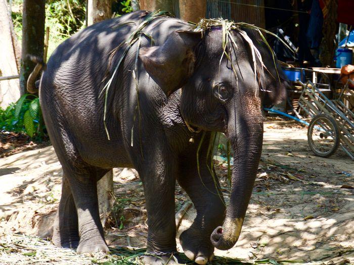 Animal Mammal Animal Themes Animal Wildlife Vertebrate Day Nature Domestic Animals Sunlight No People Elephant Focus On Foreground Animals In The Wild Outdoors Land Tree One Animal Thai Elephant