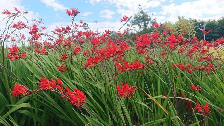 Flower Poppy