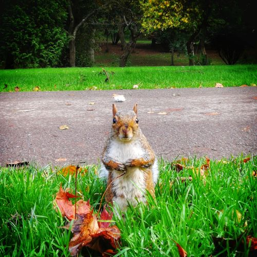 One Animal Grass Animal Themes Mammal EyeEm Selects Squirrel Autumn Grass Field Low Angle View Huawei Photography P10 Plus Photography Animals In The Wild No People Perspectives On Nature