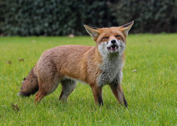 Wild fox Animal