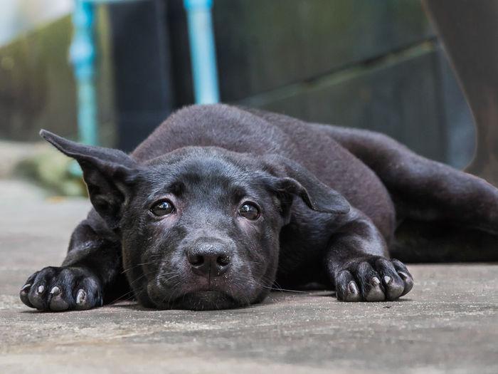 Portrait of black dog resting on floor